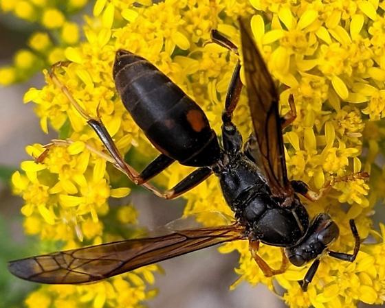 Dark Paper Wasp (Polistes fuscatus)? - Polistes fuscatus
