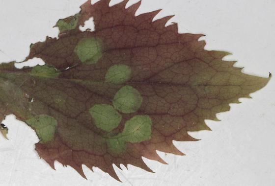 Cecidomyiidae, Zigzag Goldenrod, spots, underside of leaf  - Asteromyia modesta