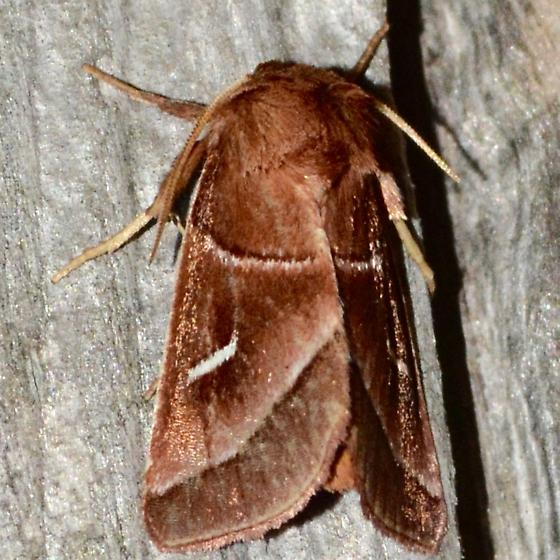 Marsh Fern Moth - Fagitana littera