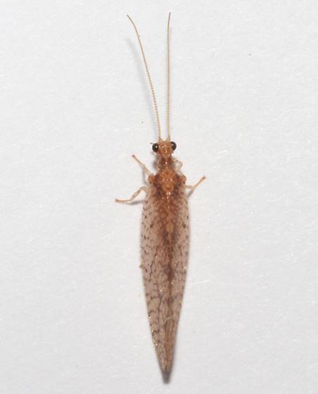 Hemerobiidae, dorsal - Micromus posticus