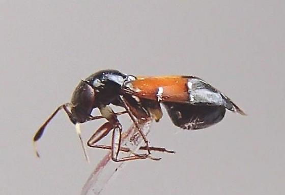 Bug - Pilophorus