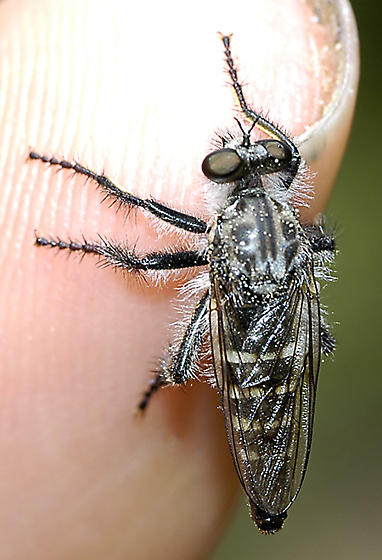 Asilid with four white bands on finger - Cyrtopogon