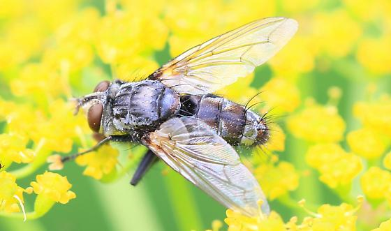 tachinid fly with brown blotches on abdomen - male