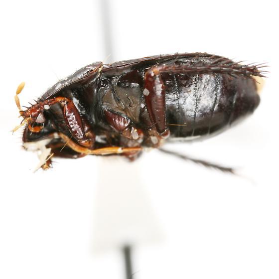 Tominotus communis (Uhler) - Tominotus communis