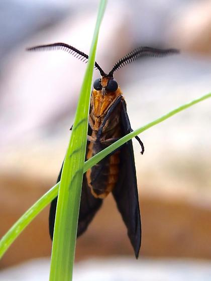 Neoilliberis fusca