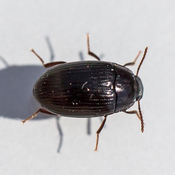 darkling beetle - Platydema americanum