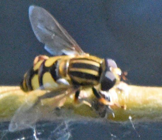 Helophilus (fasciatus?) - Helophilus