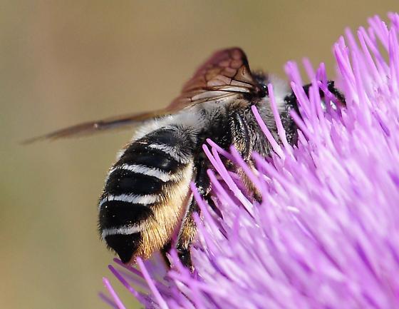 Unknown Bee - Megachile inermis - female