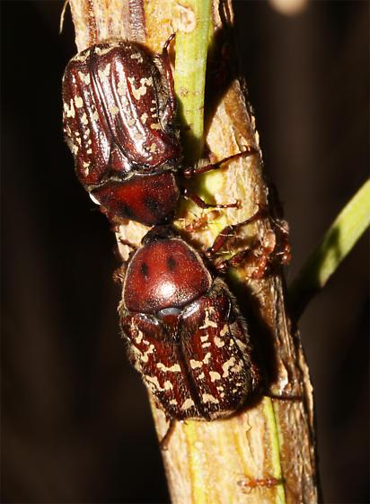 At sapping Baccharis - Euphoria leucographa