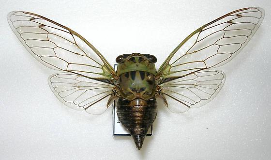 Tibicen winnemanna (FEMALE) - Neotibicen winnemanna - female