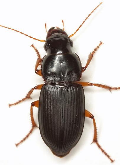 Harpalus actiosus Casey - Harpalus actiosus - female