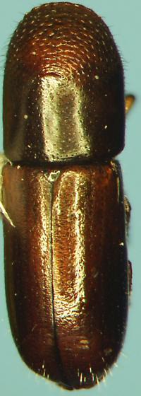 Scolytinae - Gnathotrichus materiarius