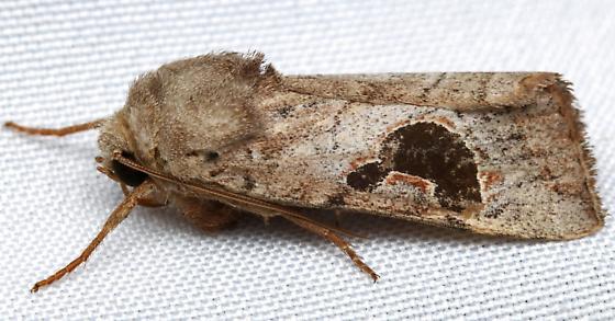 Noctuidae? - Hypotrix lunata