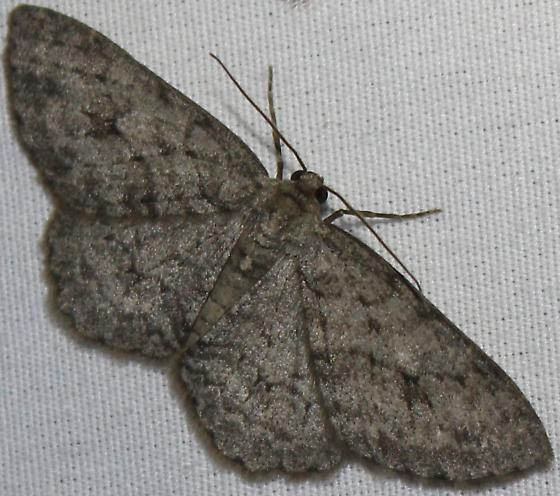 Small Engrailed - Hodges#6597 - Ectropis crepuscularia