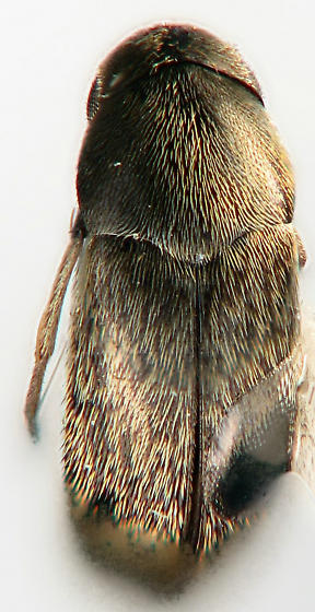 aspersa group - Mordellistena rubrifascia