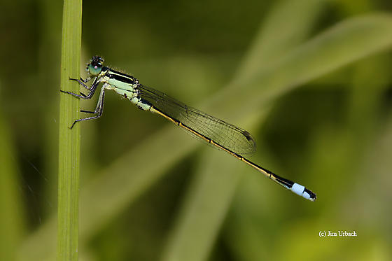 Damselfly - Ischnura ramburii - male