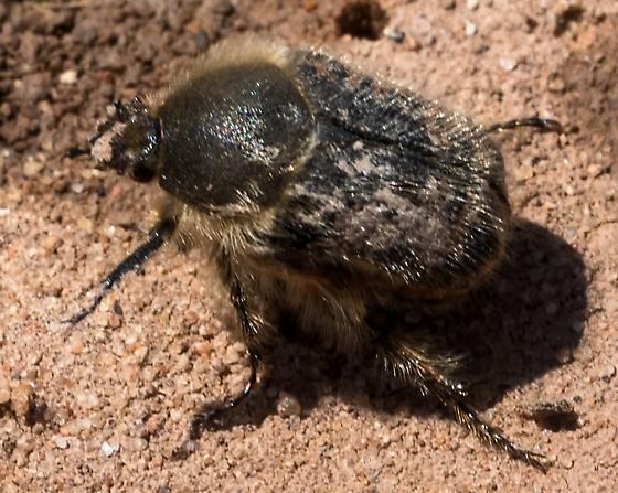 Unknown Fuzzy Beetle 4399 - Euphoria
