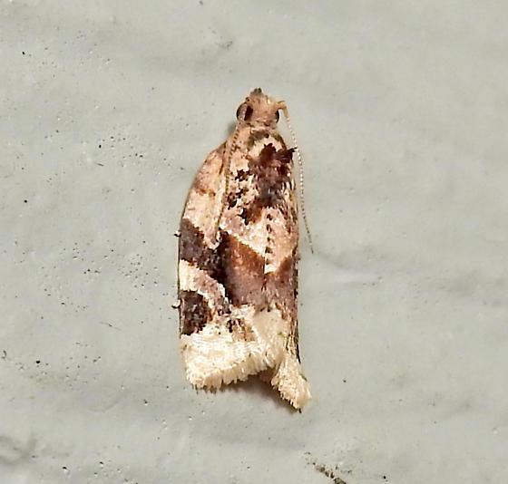 small moth (Argyrotaenia velutinana?) - Argyrotaenia velutinana