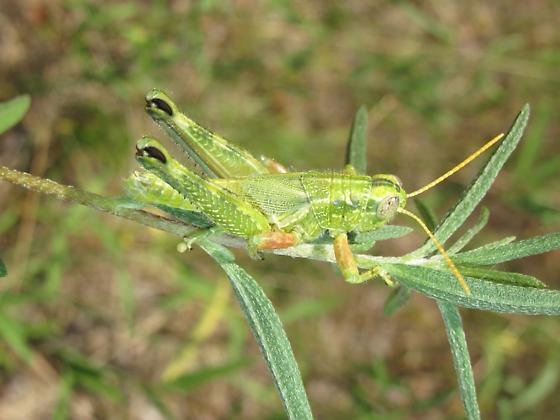 Fuzzy hopper - Campylacantha olivacea - male