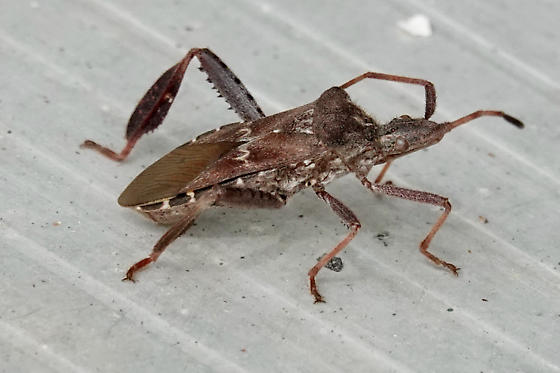 Leaf-footed Pine Seed Bug - Leptoglossus corculus? - Leptoglossus corculus