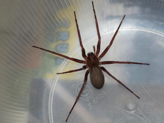 Redwood Spider
