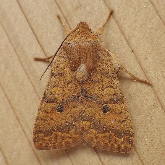 Noctuidae: Sunira bicolorago - Sunira bicolorago