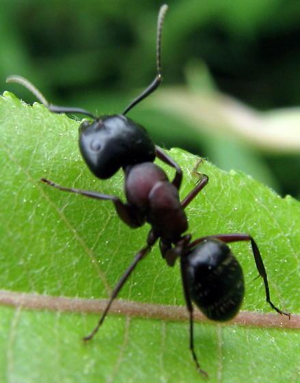 An ant - Camponotus novaeboracensis
