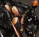 Nicrophorus nigrita with mites - Poecilochirus