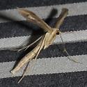 Groundsel Plume Moth - Hodges #6210 - Hellinsia balanotes