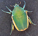 Cotinis mutabilis Green June Beetle - Cotinis mutabilis
