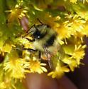 Tricoloured Bumble Bee  - Bombus ternarius