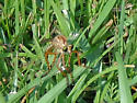 Tannish Wasp-Mosquito - Diogmites