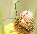 Typocerus octonotatus? - Typocerus octonotatus