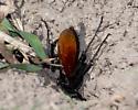 Large wasp with orange wings - Entypus unifasciatus - female