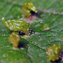 Eriophyes tiliae on Basswood (Tilia americana) - Eriophyes tiliae