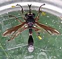 Physocephala furcillata
