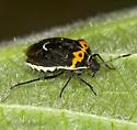 Pentatomid on Thimbleberry - Cosmopepla conspicillaris