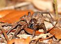 Wolf spider... - Hogna lenta - female