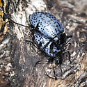 Gibbifer californicus - male - female