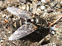 Exoristinae? - Tachinomyia