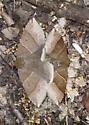 Mating  walnut ? moths - Parallelia bistriaris - male - female