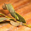 Green leaftier caterpillar