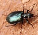 Alder Leaf Beetle - Lebia cyanipennis