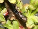 Southern Indiana Sawfly - Dolerus - female