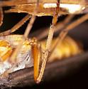 October Caddisfly - Dicosmoecus atripes
