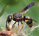 Medium-sized Wasp - Euodynerus hidalgo