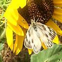 White Butterfly  - Pontia protodice