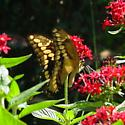 Papilio cresphontes - Papilio rumiko