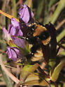 Northern Amber Bumble Bee on Stiff Gentian - Bombus borealis