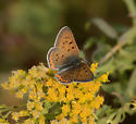 Purplish Copper? - Lycaena helloides - male